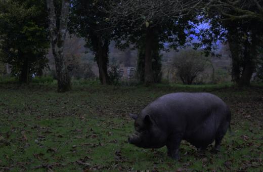 Huntington Castle Pig © Lavender's Blue Stuart Blakley