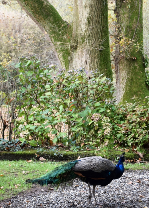 Marlfield House Peacock Lavender's Blue Stuart Blakley_edited-1