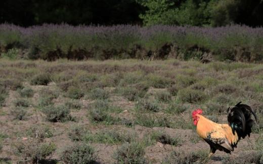 Lavender Farm Jersey © Lavender's Blue Stuart Blakley