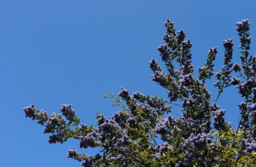 Asylum Road Lilac Tree Peckham © Lavender's Blue Stuart Blakley