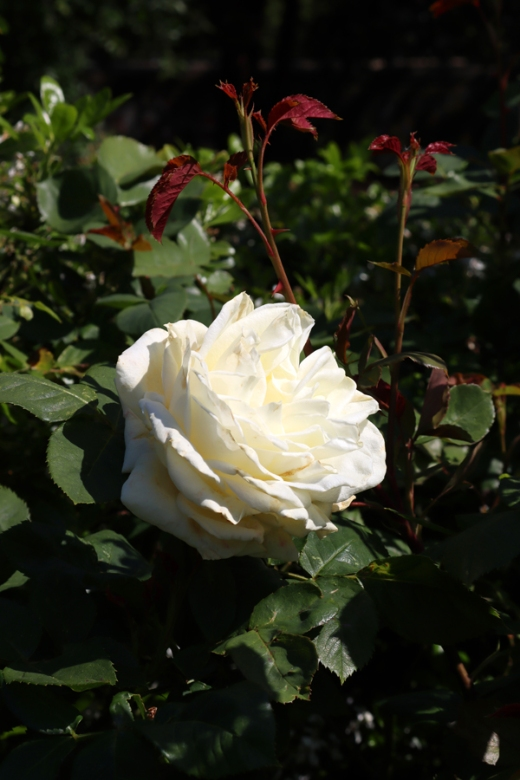 White Rose Kennington Park London © Lavender's Blue Stuart Blakley