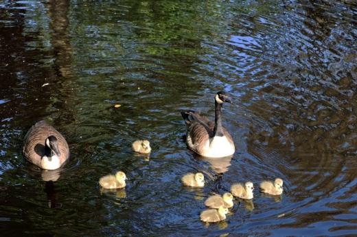 Belair House West Dulwich London Ducks © Lavender's Blue Stuart Blakley